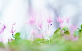 Обои зелень, макро, цветы, природа, легкость, поляна, нежность