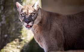 Картинка язык, дикая кошка, кугуар, горный лев, морда, © James Scott, пума