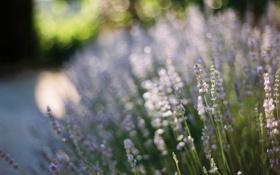 Картинка цветы, лаванда, боке, Lavandula