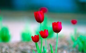 Обои стебель, листья, макро, лепестки, тюльпан