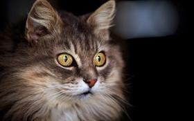 Картинка кошка, кот, взгляд, фон, кошак, пушистая