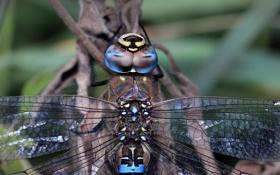 Картинка крылья, голова, стрекоза, насекомое