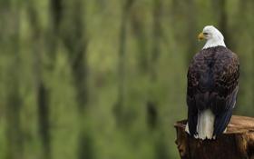 Обои птица, орел, пень, фокус, спиной, сидя