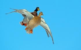 Обои птица, крылья, полет, утки, небо