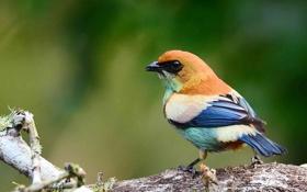 Обои взгляд, птичка, Blue, Black, White, оперение, Bird