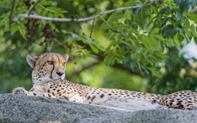 Обои зелень, отдых, камень, хищник, гепард