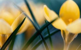 Обои макро, цветы, желтые, первоцвет, крокус
