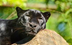 Обои морда, отдых, хищник, пантера, леопард, дикая кошка