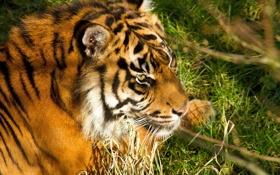 Картинка морда, тигр, отдых, хищник, амурский