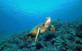 Обои море, океан, черепаха, кораллы