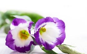 Обои цветы, фиолетовые, сиреневые цветы