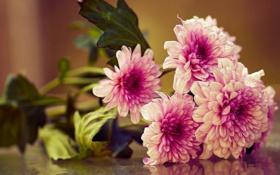 Обои макро, букет, хризантемы