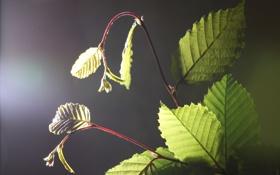 Обои листья, свет, растение, ветка