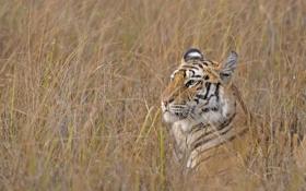 Обои дикая кошка, профиль, морда, трава, маскировка, бенгальский тигр