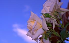 Обои небо, роза, куст, лепестки