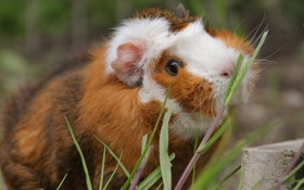 Обои морская свинка, травинки, грызун