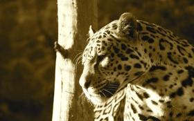 Картинка морда, свет, хищник, ягуар, профиль, дикая кошка