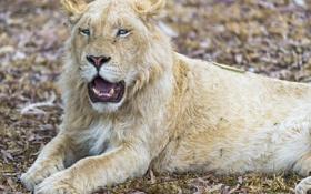 Обои кошка, голубые глаза, белый лев, ©Tambako The Jaguar