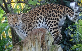 Картинка кошка, листва, пень, леопард, амурский