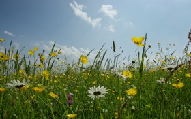 Обои небо, трава, цветы, природа, фото