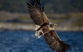 Обои природа, рыба, орёл
