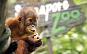 Обои фон, обезьяна, зоопарк