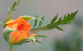 Картинка листья, макро, роза, лепестки, бутон