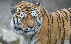 Обои кошка, взгляд, морда, тигр, амурский тигр, ©Tambako The Jaguar