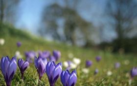 Обои цветы, весна, размытость, крокусы, синие
