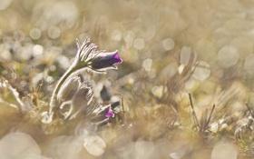 Обои травка, цветение, Анемоны