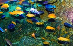 Картинка рыбы, озеро, подводный мир, lake Malawi, cichlids