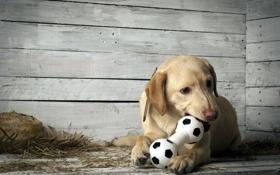Обои фон, собака, щенок