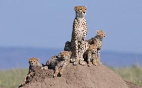 Обои кошки, семья, холм, семейство, гепарды, детёныши