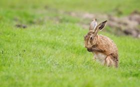 Обои поле, природа, заяц