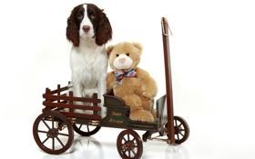Обои игрушка, тележка, плюшевый медведь, Английский спрингер-спаниель