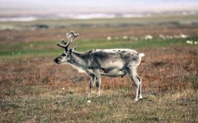 Картинка поле, животные, природа, олень, Швейцария