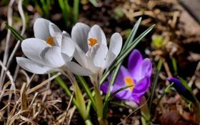 Картинка белый, фиолетовый, макро, цветы, весна, бутон, первоцвет