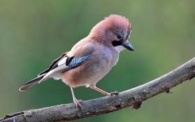 Картинка природа, птица, сойка, фото