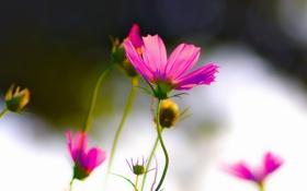 Обои цветы, розовые, космея