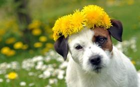 Картинка лето, цветы, собака