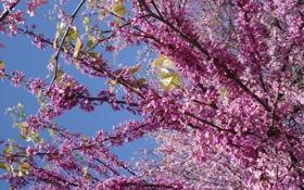 Обои цветы, весна, сирень, голубое небо