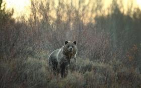 Картинка природа, фон, Grizzly