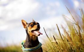 Обои собака, поле, лето