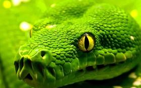 Картинка глаза, змея, голова, чешуя, snake, eyes, рептилия