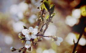 Картинка весна, ветки, вишня, цветение, дерево, цвет, ветви