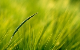 Обои пшеница, поле, макро