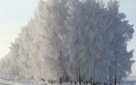 Обои снег, утро, березы