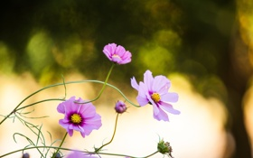 Обои лепестки, розовые, цветы
