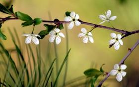 Картинка сакура, цветок, вишня, ветка, макро