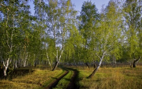 Обои дорога, осень, лес, берёзы